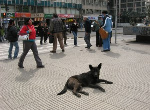 Santiago Street Dog