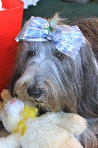 Howie the Bearded Collie
