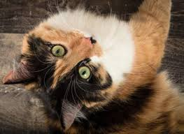 Cats see us for who we really are. Calico cat looking upside down